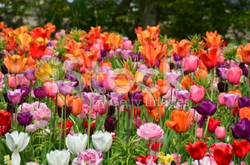 stock-photo-86416189-tulips-in-spring-in-the-garden-of-keukenhof-lisse-holland