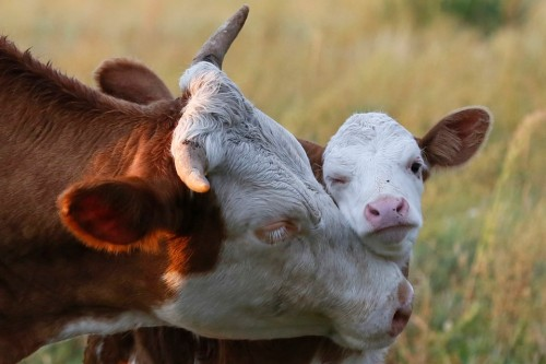 A cow nuzzles its calf in a field near the village of Lukyanovka
