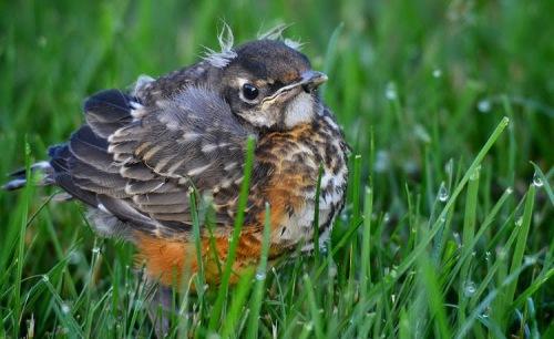 robin-fledgling-2