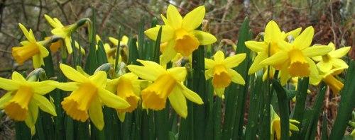 04-daffodils