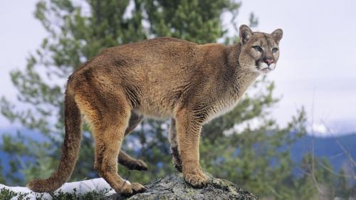 cougar_cp_0