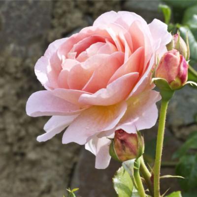 hybrid-tea-roses