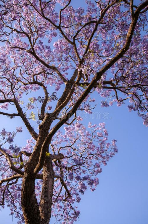 jacaranda-tree-against-blue-sky-looking-up-to-bloom-purple-flowers-lighten-late-afternoon-sun-94496177