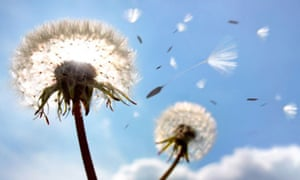 dandelion-seeds-in-flight-010